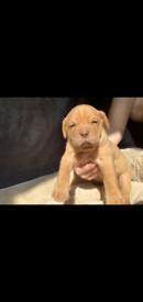 CHUNKY Dogue de bordeaux fully Kc registered pups