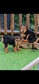 Welsh Terrier Pups