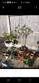 Free plants and pots in leyland pick up