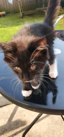 Wee female kitten ready for a new home