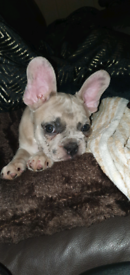french bulldog merle puppy (male)