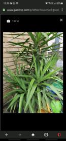 Plant yucca huge