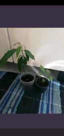 Mango and lemon tree