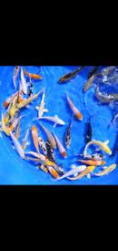 1000,Koi fish