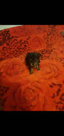 Full Minature Yorkshire terrier puppy Male