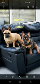 French Bulldogs puppies!!