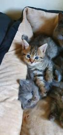 Kittens 4 girls 1 boy ALL RESERVED