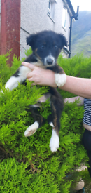 *Price Drop* Pure Border Collie Puppies *Last One Remaining*