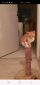 Beautiful kittens( ready go now ) ginger kitten only now