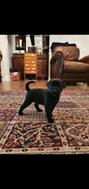 Patterdale terrier puppies (only 2 left)