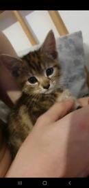 9 week old female kitten
