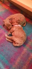 Beautiful F1B Cavapoo Puppies