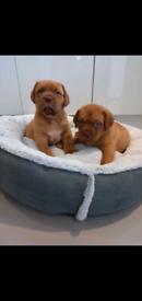 8 Beautiful chunky DDB puppies KC registered!
