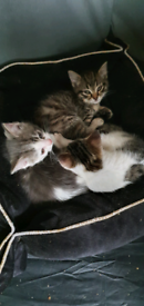 3 gorgeous girl kittens