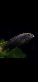 Cichlids-Malawi Mbunas
