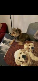 Chihuahua Cross Yorkie
