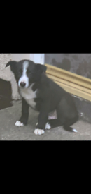 Male collie puppy