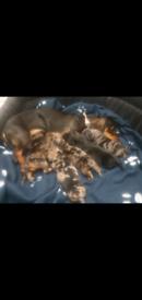 Miniature dashhund puppies