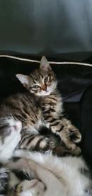 1 gorgeous girl kitten left