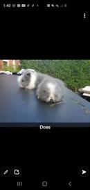 3 lionhead rabbits for sale