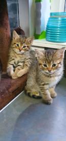 Tabby ragdoll x bengal kittens