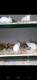 Californian and New Zealand Rabbits