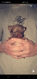 TCUP Chihuahua puppies