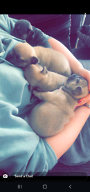4 X French Bulldog Puppies for sale