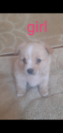 Pomeranian cross Yorkshire terrier Puppys