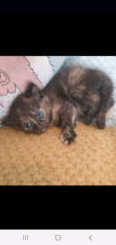 1 beautiful half Maine Coon kitten left from litter of four