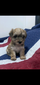 5 Mixed Blue Yorkshire X Bichon Puppy