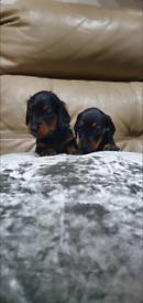 Miniature Dachshunds