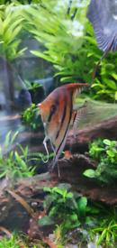 Manacapuru Angelfish