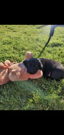 Labrador KC Reg, Quality Excellent Pedigree