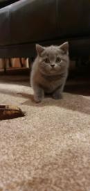 British Blue Shorthaire Kittens