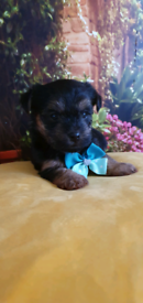 Gorgeous teacup Yorkshire Terrier puppies boys ready on Halloween