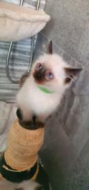 Rsgdoll kitten
