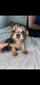 Bichon and Blue Yorkshire Terrier Puppies
