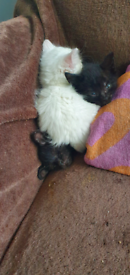2 males and 1 white female kittens
