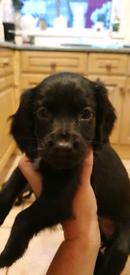 12 Beautiful Sprocker Pups - Ready NOW