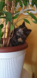 Ojos Azulez BLUE EYES X British Longhair kittens