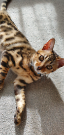 Pure breed bengal kitten