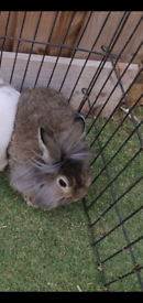 Lion head dwarf rabbit, Extremely adorable