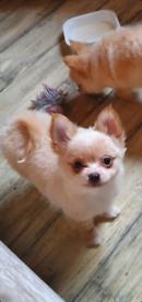 Pomchi puppies stunning