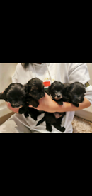 4 Yorkipoos For Sale *Boys And Girls*