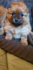 Pomeranian puppys ready 10th sep