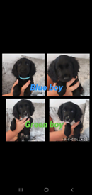 Ready for their forever homes 7 beautiful cocker spaniel