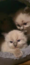 Ragdoll Male 1 left
