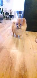 Pomeranian Puppy - Mom KC registered
