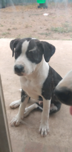staffy cross 5 months old
